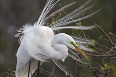 Jeannie Sutherland-Snowy Egret Displaying-10