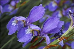 Angela Acland-Purple Iris-9.5