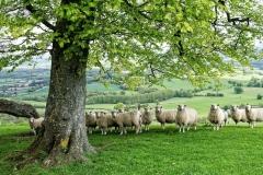 David Donati-Sheep at Chanctonbury 2-10-sml