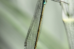 David Harris-Blue-Tailed Damselfly-9.5