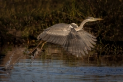 Stephen Tattersall-Ascending Grey Heron-9.5