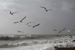 Sue Nash-Seagulls Hovering-9