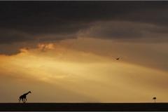 John Larry-Giraffe at Sunset-9
