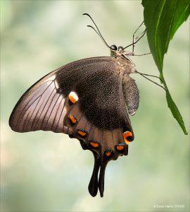 DAVID HARRIS_AsianSwallowtail