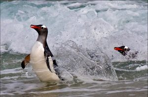 gentoo-penguins-surfing-eddy-lane