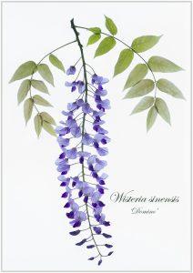 wisteria-pdi